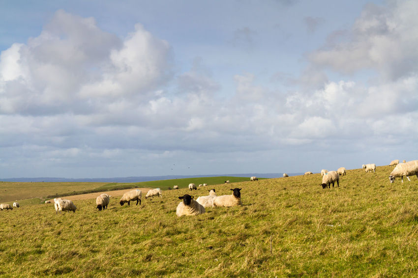 Grazing Sheep Agriculture Animal Themes Beauty Beauty In Nature Cloud - Sky Countryside Day Environmental Conservation Grass Grazing Grazing Sheep Landscape Large Group Of Animals Livestock Mammal Nature No People Outdoors Pasture Rural Scene Sheep Sky South Downs Sussex