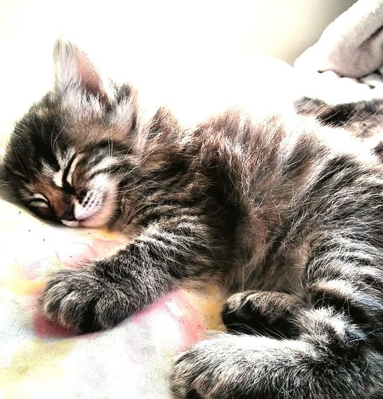 Precious lil new one 😘💚💜💙 Pets Domestic Animals Eyes Closed  Domestic Cat Animal Themes Close-up Cat Tortiesrule One Animal Whiskers Tortoise Shell Color Tortoiseshell Kitten