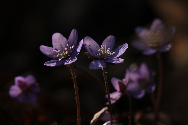 pizza bianca con le patate Anemone Anemone Hepatica Bokeh Light Sun Sunlight Wild Winter Light And Shadow Spring Is Coming  Anemone Flower Wood Forest February Flower Purple Nature Fragility Beauty In Nature Blossom Freshness Plant Close-up Petal No People Springtime Flower Head Outdoors Day Closing