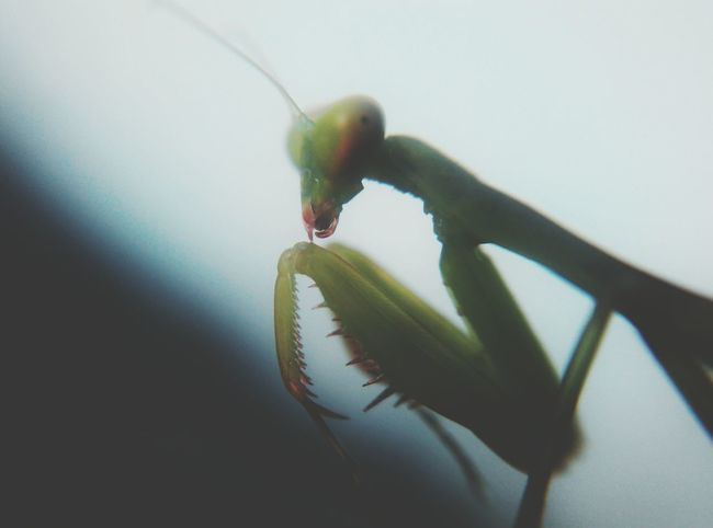 Mobile Shot Mobile Photography Beauty In Nature Taking Photo Captured Mobile Photo Insect Insect Photography Insects Collection Praying Mantis Green Color Macro_collection Macro Photography