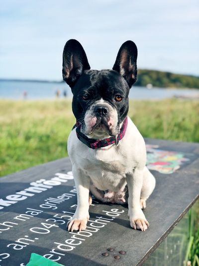My Frenchie Bella #Frenchie EyeEm Selects Dog Canine One Animal Pets Domestic Animals Animal Themes