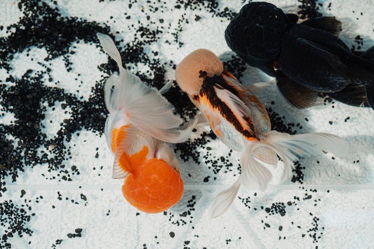 Oranda goldfish swimming in an improvised fish tank
