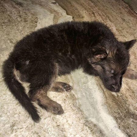 Puppy Sleeping Germanshepherdlovers Germanshepherdfanpage