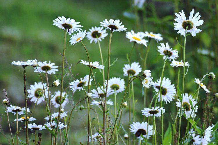 Daises blooming outdoors