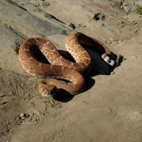 Another pic of what the snake looked like! Reddiamondback