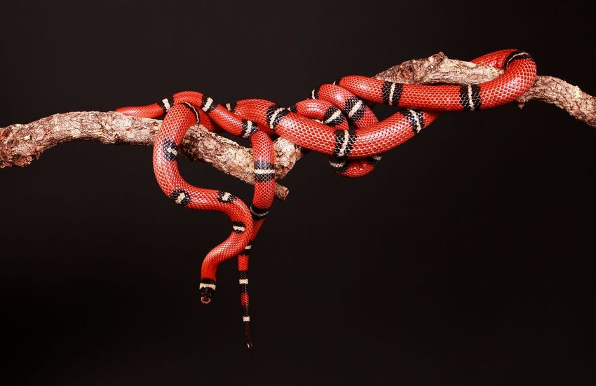 two vipers entwined on a limb Entwined Exotic EyeEm Pets Schlange  Snake Studio Tongue Out Black Background Boa Close-up Corn Exotic Pets Limb Natter Pair Portrait Red Reptile Striped Studio Shot Tongue Viper