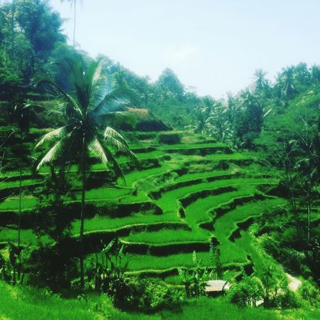 Rural Scene Landscape Tranquility Beauty In Nature Scenics Travel Destinations Terraced Field Lifewelltraveled Traveling Travelingtheworld  Travelingindonesia INDONESIA Ubud Ubud, Bali Calm Idyllic Rice Field Tegalalang