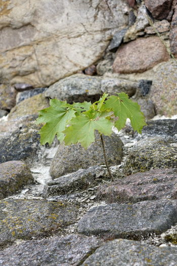Rockwall Wall Close-up Day Fragility Green Color Growth Leaf Nature No People Outdoors Plant Rock - Object