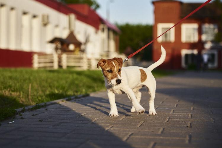 Owner walking her jack russell terrier dog outside