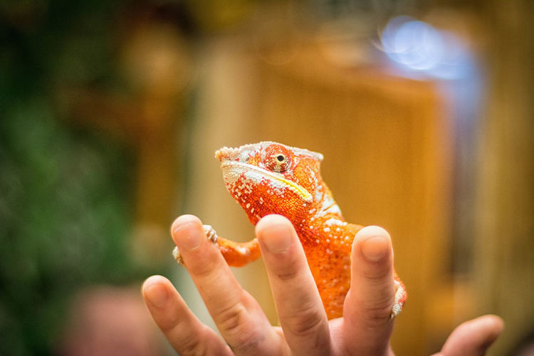 Human Hand Animal Themes Human Body Part One Animal Human Finger One Person Close-up Focus On Foreground Reptile Animal Wildlife Nature Chameleon Orange Color Red Eye Displayed Nikon The Still Life Photographer - 2018 EyeEm Awards