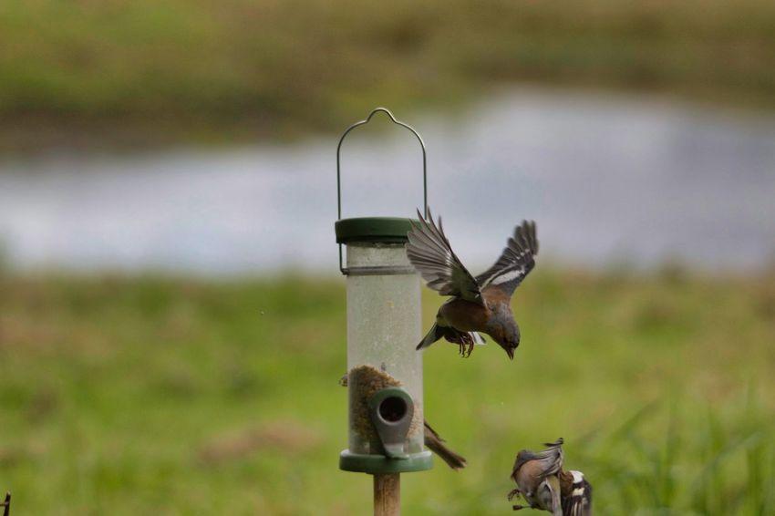 Bird Close-up Grass Bird Feeder Spread Wings Flapping Flight Animal Wing