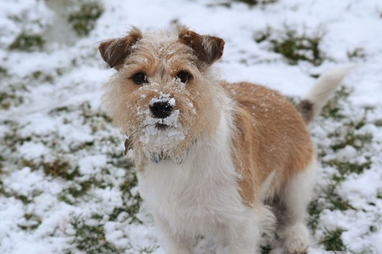 jack Russell Snow Cold Temperature Winter Dog Beauty Snowflake Pets Portrait Animal Hair Shaking Nose Deep Snow Animal Nose Powder Snow Snowfall Frozen Eye Teeth Canine Tail Ear Animal Eye