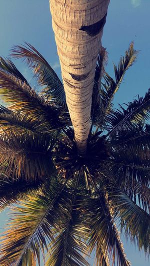 Coconut Trees Shadows & Lights Beauty In Nature Tree Sky No People Tree Trunk Mayotte Vision Amazing View Sunny Day Islandlife Tranquility Hugging A Tree Skyview Enjoying The View Chilling