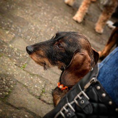 Dackel Dachshund Leo Krepel Hund Testbild Portrait