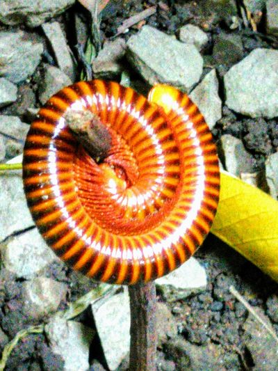 Millipedes protect themselves by rolling. Millipedes Spiral High Angle View No People Outdoors Close-up Nature Animal Themes Millipede Animals In The Wild Pattern Multi Colored Textured  Beauty In Nature Rock - Object Reptile Photography Reptilecollection Brown Zoom Shot Zoomzoom Zoom In ZoomInToDetail Travelling Thailand Focus On Foreground Macro