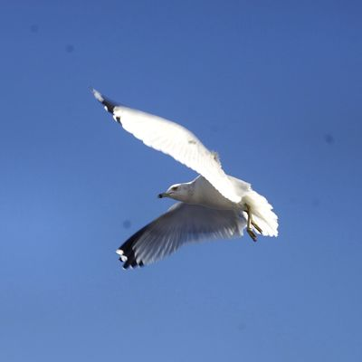Seagull Bird Flying White Color Animals In The Wild Animal Themes Blue Low Angle View One Animal Clear Sky Spread Wings Day Animal Wildlife No People Outdoors Sky