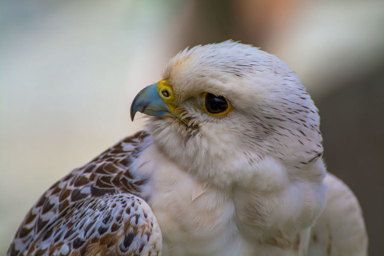 Animal Animal Body Part Animal Eye Animal Head  Animal Markings Animal Themes Avian Beak Beauty In Nature Bird Bird Of Prey Close-up Day Falcon Feather  Focus On Foreground Horizontal Nature Nature No People Outdoors Portrait Selective Focus Side View Wildlife