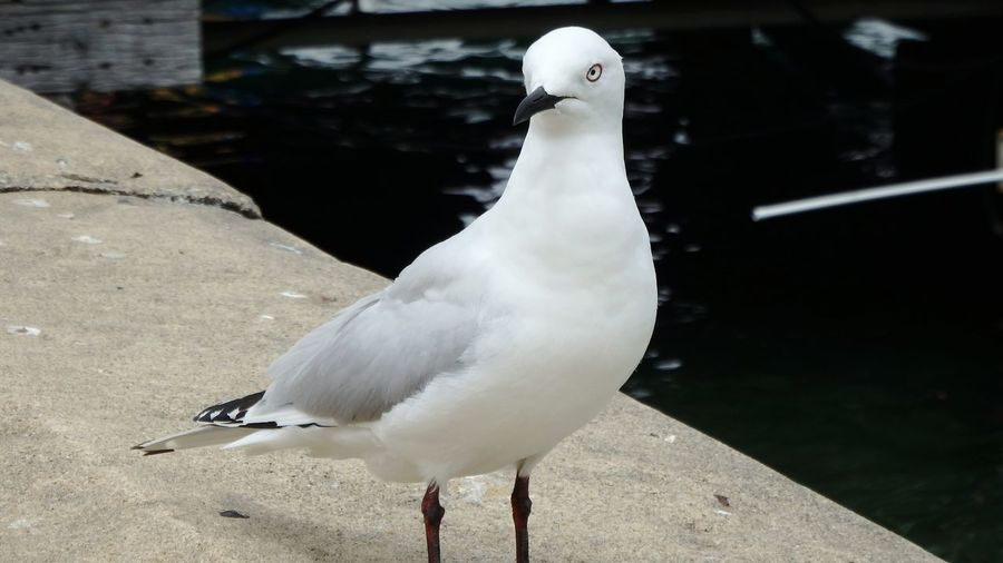 Close-Up Of Seagull By Lake
