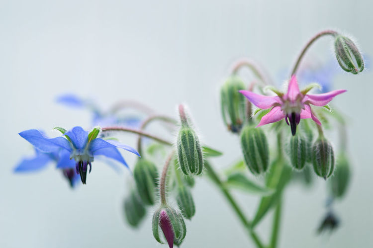 Beauty In Nature Borage Borago Officinalis Close-up Day Flower Flower Head Fragility Freshness Green Color Growth Leaf Nature No People Outdoors Petal Plant Selective Focus Springtime Star Flower Summer Exploratorium EyeEmNewHere