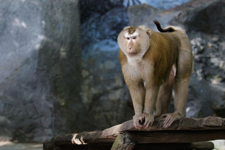 Image of Pig-tailed Macaque monkeys on nature background. Wildlife Animals. Monkeys Animal Animal Themes Animal Wildlife Animals In The Wild Brown Monkey Day Mammal No People One Animal Outdoors Wildlife