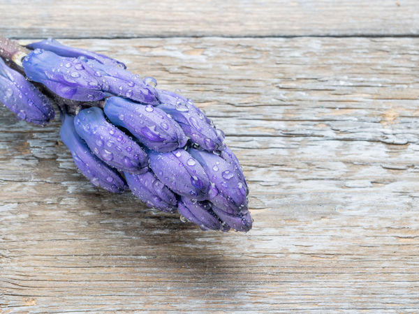 Macro shot of purple Hyacinthus flower for background use.Spring flowers Hyacinthus Orientalis Beauty In Nature Close-up Day Flower Flower Head Food Fragility Freshness Healthy Eating Indoors  Nature No People Purple Table Water Wood - Material