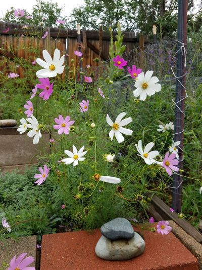 Cosmos Flower Outdoors Rocks Garden Fragility