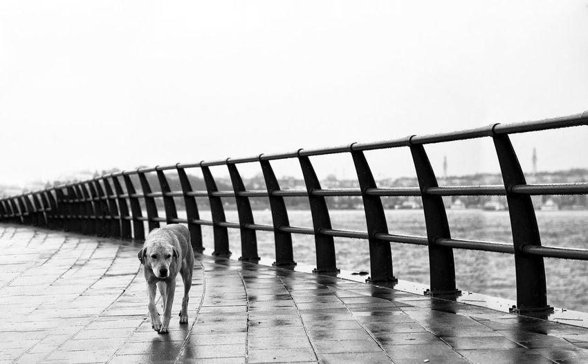 Dog walking on bridge against clear sky