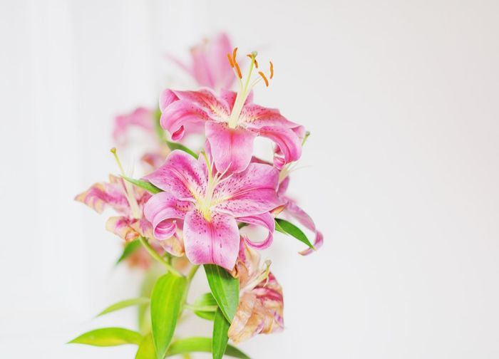 lilien Blooming Blossom Close-up Flower Flower Collection Flower Head Flower Photography Flowerporn Flowers Fragility Freshness Growth Lilies Petal Pink Color Plant Pollen Softness Stamen Studio Shot White Background