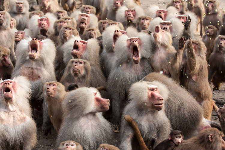 Scream! Animal Animal Photography Animal Themes Baboons Day Full Frame Funny Group Photo No People scream