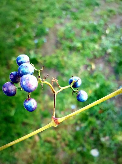 Nature No People Outdoors Close-up Day Berries Blues And Purples Still Life Eye4photography  EyeEmBestPics