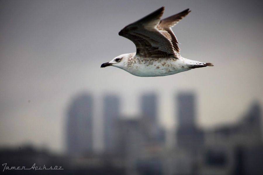 İstanbul kanatlarının altında... Flying Bird Spread Wings Animals In The Wild Animal Themes One Animal Nature Low Angle View No People Animal Wildlife Day Outdoors Sky