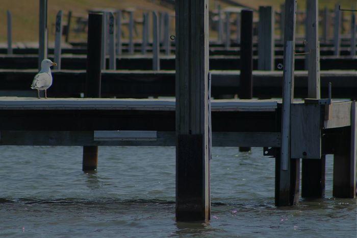 Marina Dock Seagull