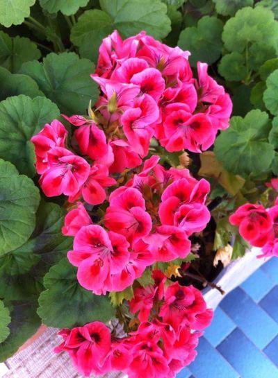 Sardunya ANNEM🙏💜 Flower