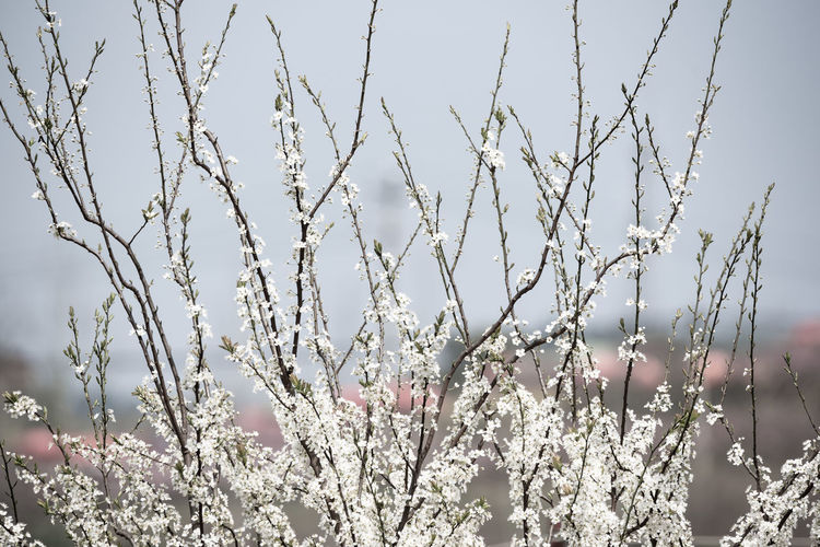 Pear Blossom in spring chengdu longquanyi Plant Growth Beauty In Nature Flower Nature Flowering Plant Day Fragility Close-up Vulnerability  No People Freshness Sky Tranquility Tree Focus On Foreground Outdoors White Color Blossom Selective Focus Cherry Blossom Village Village Life Village View Countryside Countryside Life Countryside Landscape White Flower Pear Blossoms Spring Springtime Spring Flowers