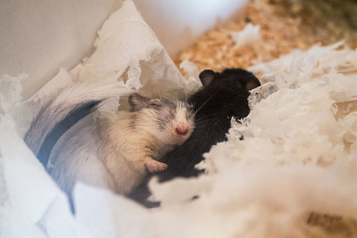 Acariciar Animal Themes Animales Animals Cuddling Domestic Animals Haustiere Kuscheln  Maus Mimos Mouse Nager Pets Ratón Rennmaus Schlafen Selective Focus Sleep Sleeping Mouse Sleeping Pets Sueño Tiere