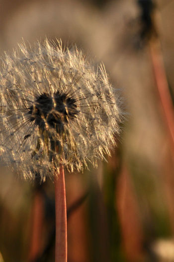 Check This Out Close-up Dandelion Dandelion In Sulight Eye4photography  EyeEm Best Shots EyeEm Nature Lover Focus On Foreground Fragility Nature No People Selective Focus Softness Taking Photos EyeEm Gallery