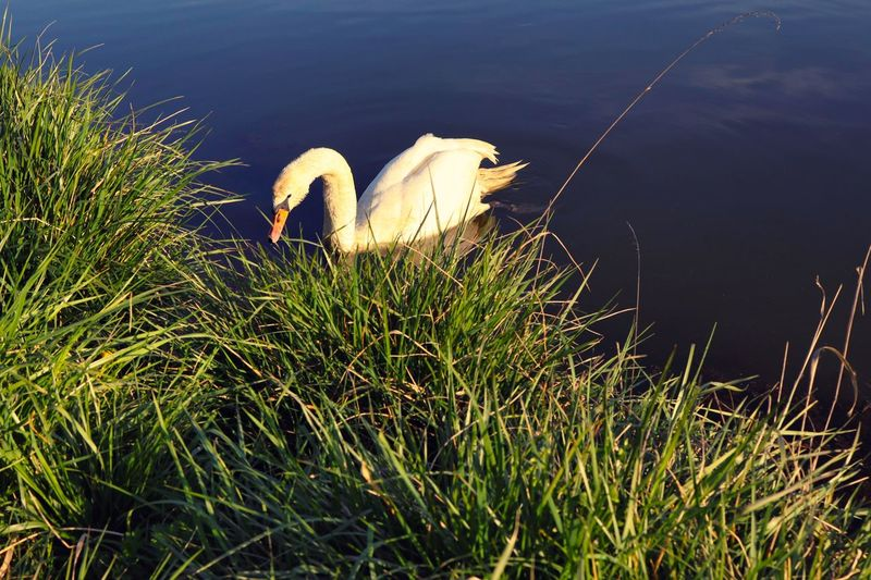 View of swan on grass by lake