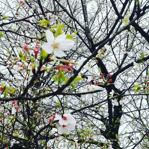 Beautiful Sakura. in China