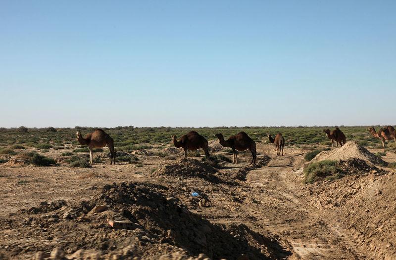 Camels at desert against clear sky