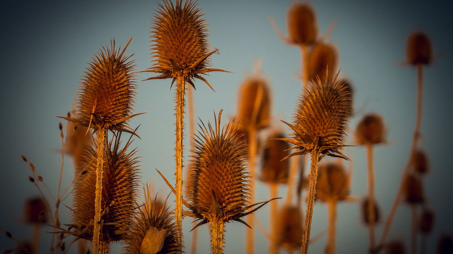 Close-Up Of Thistle Against Sky