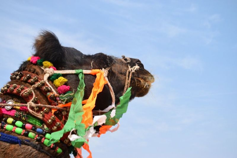 Colors Of Carnival Colorful Blue Keeping It Simple Point Of View Headshot India Rajasthan Camel Animal Fashion
