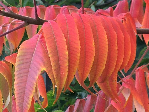 Rotes Herbstlaub Leaves Autumn🍁🍁🍁 Pattern Close-up No People Multi Colored Day Red Leaf Plant Part Nature Large Group Of Objects Decoration Abundance Arrangement Natural Pattern Creativity Backgrounds Outdoors