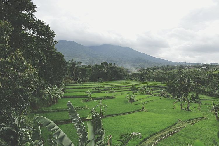 bogor indonesia First Eyeem Photo Agriculture Field Nature Beauty In Nature Tranquility Scenics Tree Mountain Tranquil Scene Farm Landscape Growth Green Color Day Mountain Range Rural Scene Outdoors No People Rice Paddy Sky