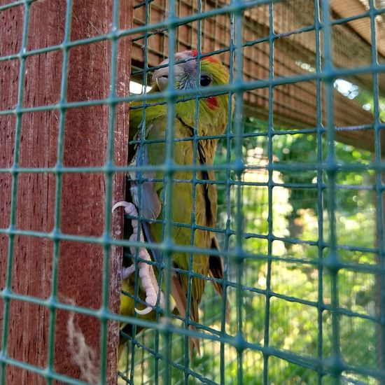 kakariki Bird Perching Trapped Parrot Cage Animals In Captivity Birdcage Close-up