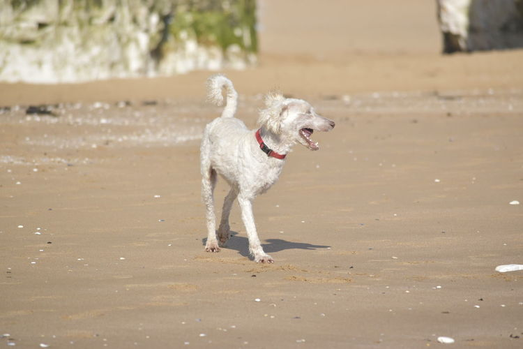 Animal Animal Themes Beach Canine Day Dog Domestic Domestic Animals Focus On Foreground Land Mammal Motion Nature No People One Animal Pets Running Standing Sunlight Vertebrate