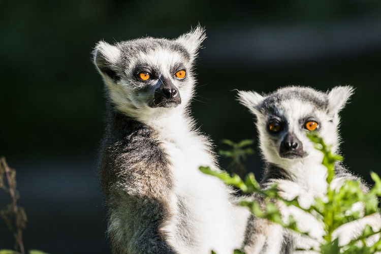 Lemurs sitting on tree in zoo