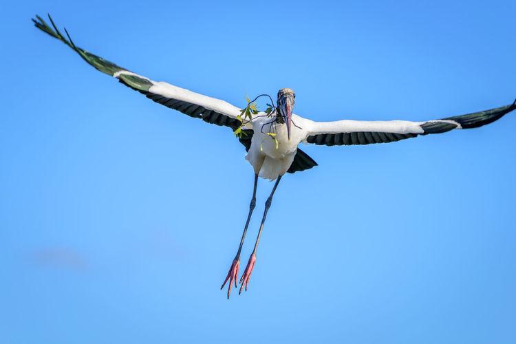 Animal Bird Bird In Flight Blue Sky Flight Flying Flying High Gliding Nest Building Storm Storm Cloud Wakodahatchee Wetlands, Delray Beach, Florida Wood Stork