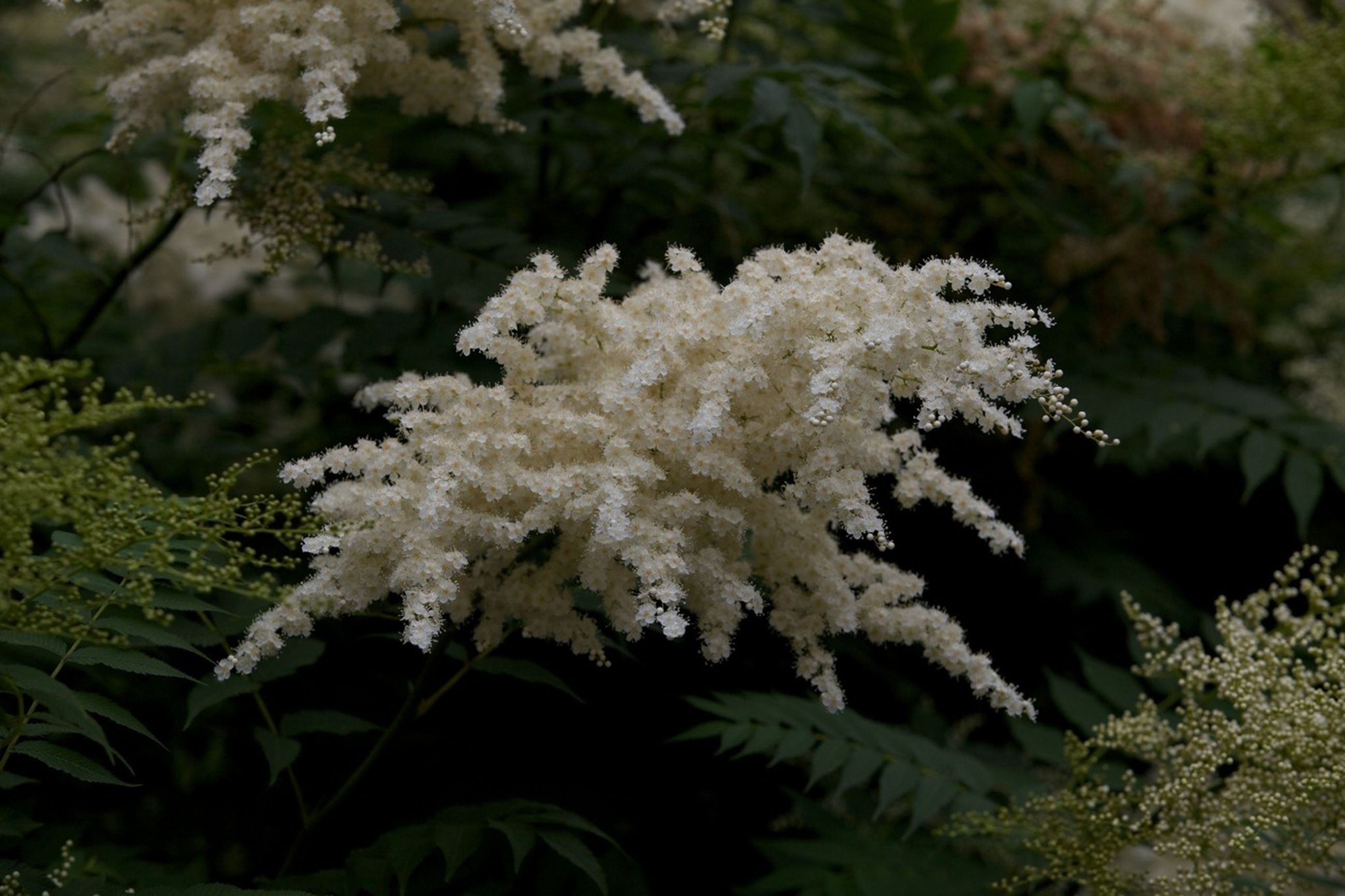 growth, flower, white color, beauty in nature, freshness, fragility, nature, tree, close-up, focus on foreground, plant, petal, branch, blooming, in bloom, blossom, white, outdoors, flower head, day