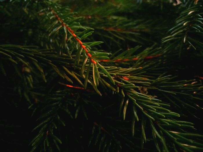 Waiting for decoration. Waiting for Christmas. Green Color Christmas Tree Growth Close-up Beauty In Nature Spruce Tree Spruce Needles Nature Taking Photos EyeEm Nature Lover EyeEm Photography Photograph Eyeemphotography Green Green Nature Spruce Needles Spruce Branches Waiting For Christmas Waiting For Decoration Tree Treephotography Branch Backgrounds