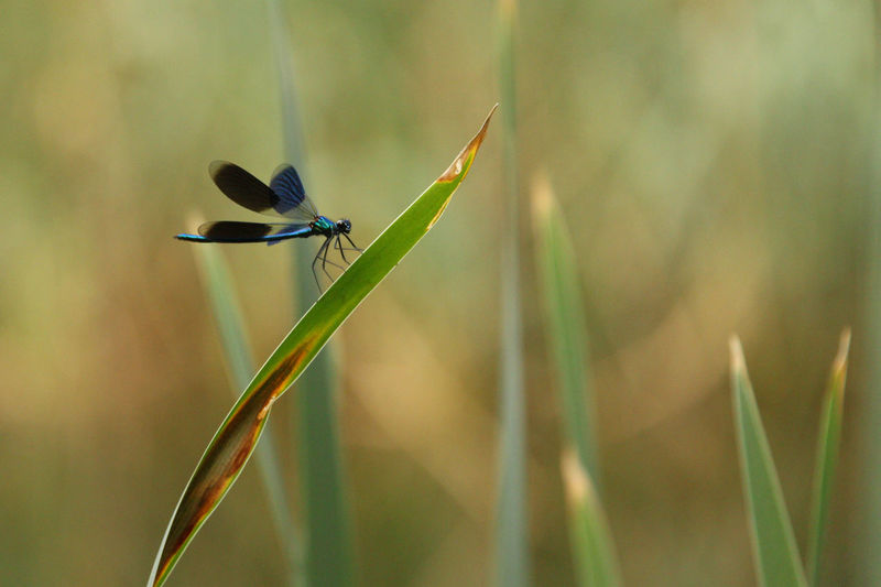 Dragonfly Dragonfly Insect Insect In My Garden Insect Photo Insect Photography Nature Pond Pond Life Reed